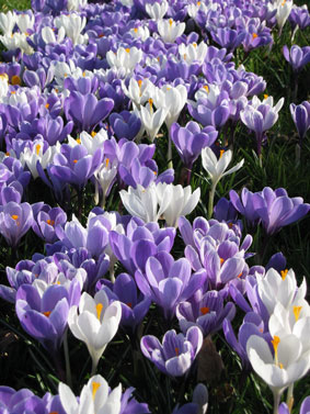 Crocuses in Spring (taken by Tony near Hoyle)